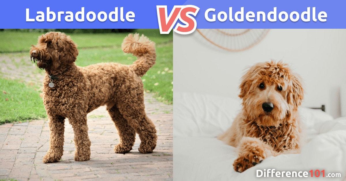 Labradoodle x Goldendoodle: Comparação, Diferenças, Semelhanças e Perguntas Frequentes