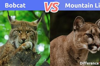 🐆 Bobcat vs Mountain Lion: 5 Key Differences, Pros & Cons